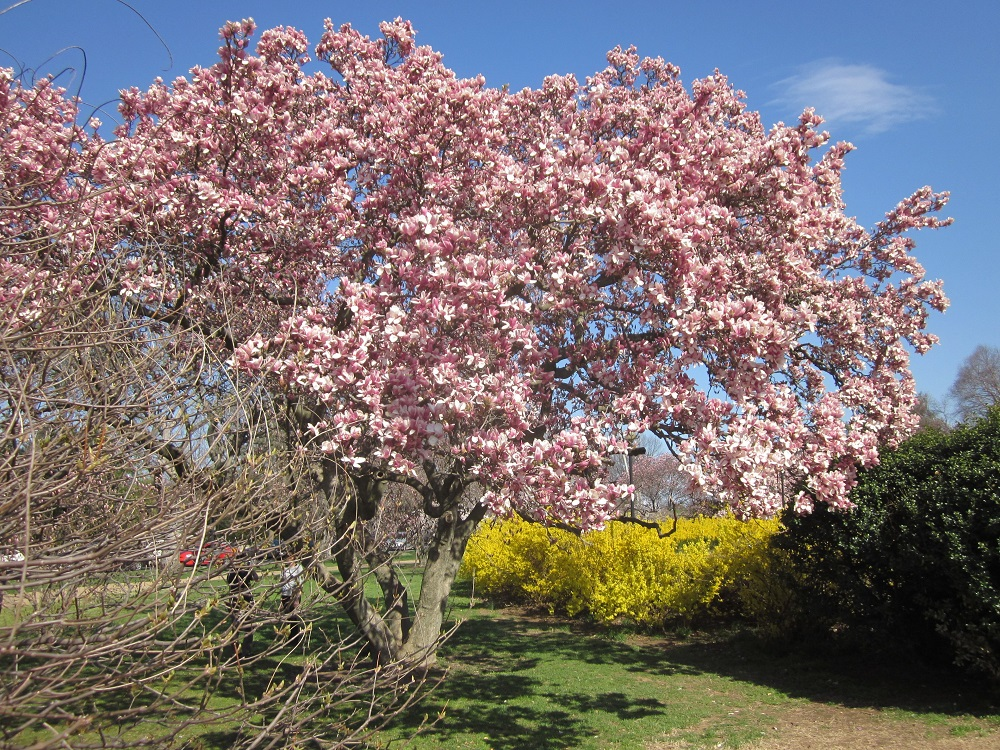 Pink Magnolia tree and Forsythia bush