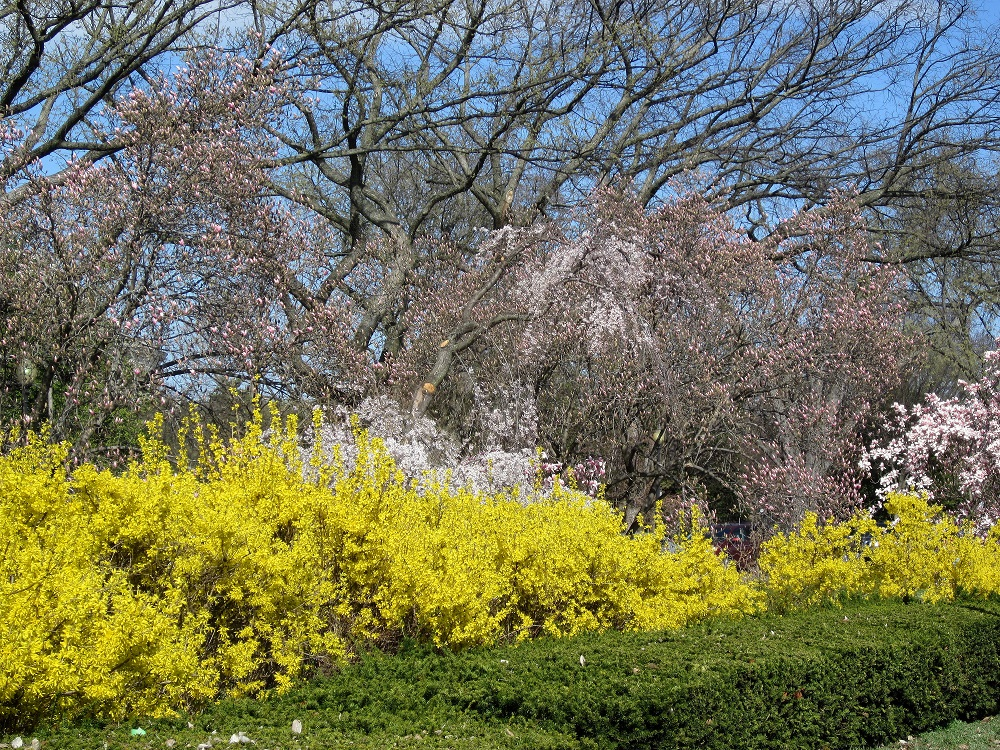 Yellow Forsythia bushes in bloom