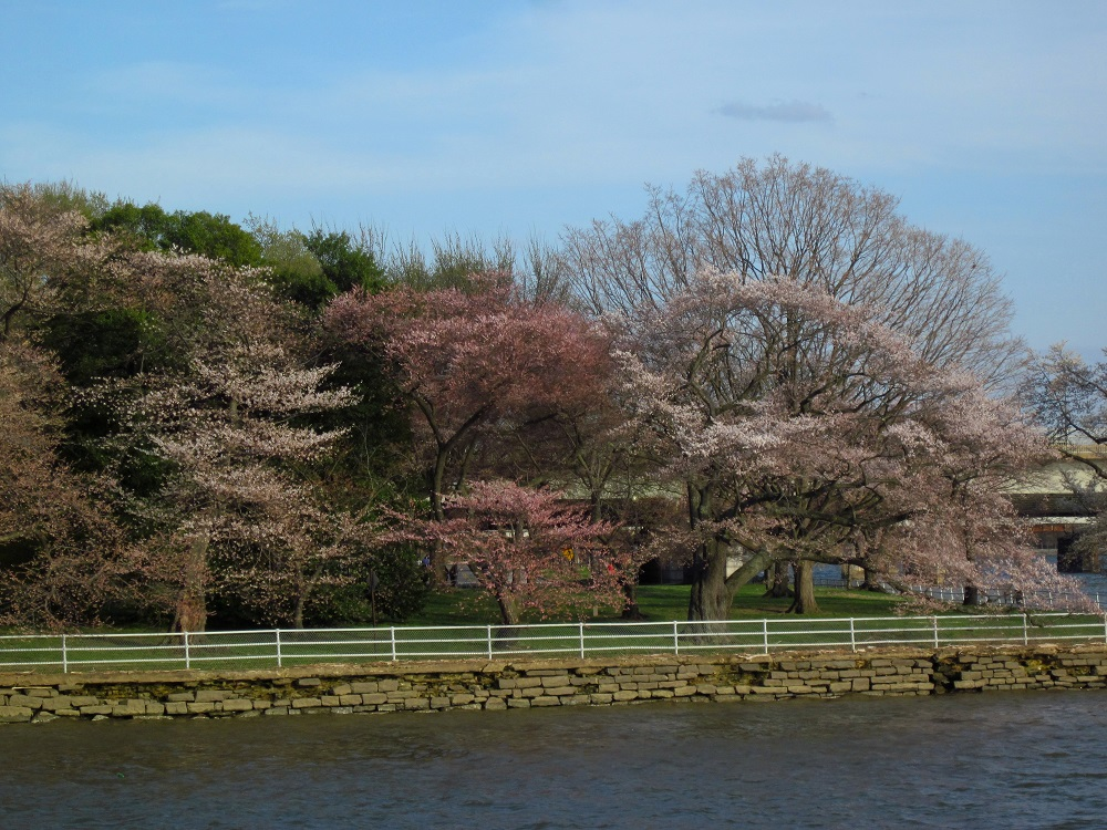 Cherry blossoms on Potomac River