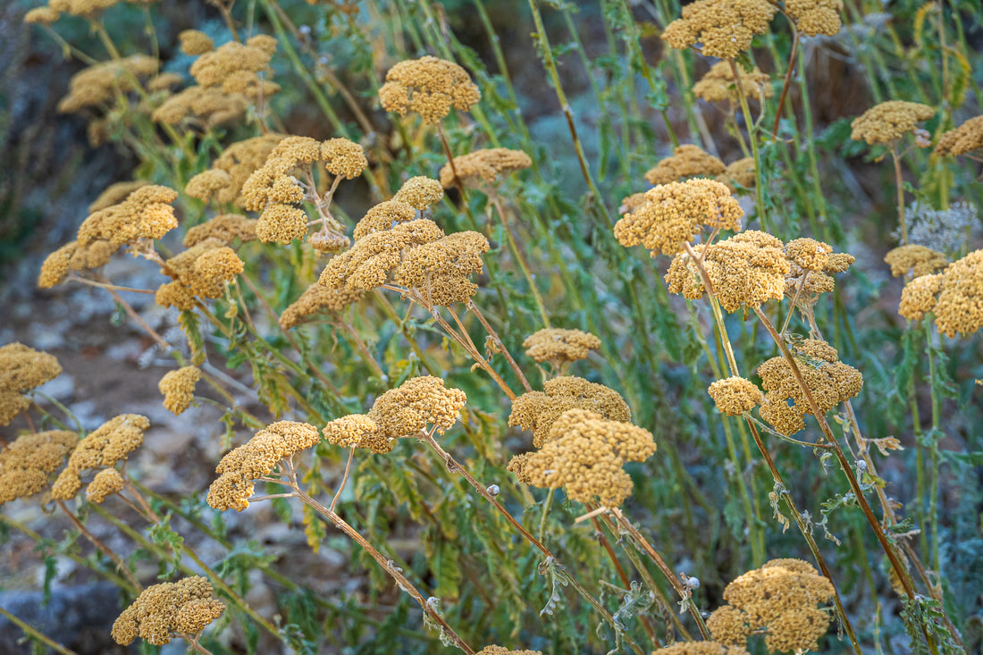 Yarrow flowers Picture